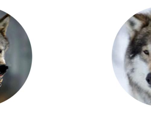 Cuento de los 2 lobos y una gran decisión: Quitarse las mascarillas